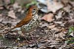Wood thrush in mid May