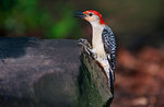 Male red-bellied woodpecker in spring
