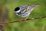 Male blackpoll warbler in spring