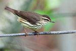 Northern waterthrush in spring migration