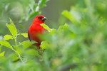 Scarlet tanager in spring