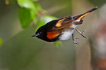 Male American redstart vacating perch