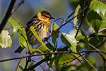 Male Cape May warbler in mid-May