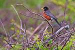 Male American robin in May