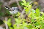 Blue-gray gnatcatcher in May