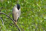 Sleeping adult black-crowned night heron