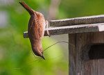 Female house wren at nest box