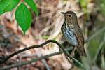 Swainson's thrush in late May