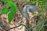 Swainson's thrush flight in late May