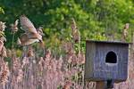 Barn owl flight and nest box in late May