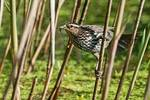 Female red-winged blackbird with prey