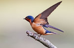 Juvenile barn swallow wing stretch