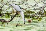 Adult black-crowned night heron drinking
