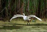 Snowy egret in mid-June