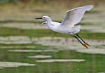 Snowy egret flight in June wetland