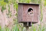 Barn owl fledgling in late June