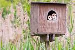 Barn owl fledglings in late June