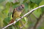 Great=crested flycatcher in late June