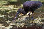 Juvenile glossy ibis foraging in early summer