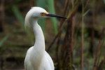 Snowy egret in salt marsh habitat