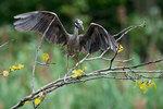 Adult yellow-crowned night heron landing