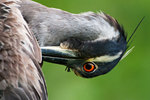 Close-up of preening adult yellow-crowned night heron