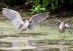Black-crowned night heron landing on summer pond