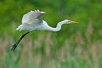 Grat egret flight in early July