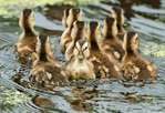 Ten mallard ducklings