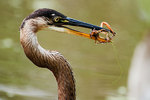 Great-blue heron with crayfish