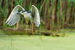 Black-crowned night heron take-off