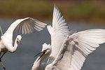 Snowy egret interaction