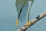 Juvenile snowy egret feet