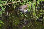 Spotted sandpiper foraging in early August