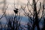 Silhouetted adult bald eagle in heron rookery