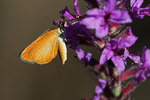 Least skipper nectaring on purple loosestrife,