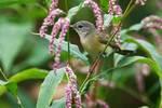 Female American redstart in late-summer pink smartweed