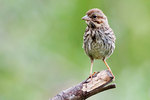 Song sparrow in early September