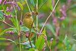 Female yellow warbler in pink smartweed