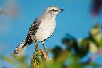 Northern mockingbird in mid September