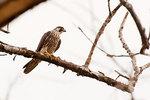 Juvenile peregrine falcon in late September