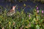 Female yellow-shafted flicker