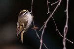 Golden-crowned kinglet in October