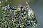 Yellow-rumped warbler altercation