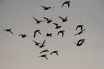 Northern shoveller flock silhouette in mid-October