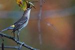 Yellow-rumped warbler in mid-October