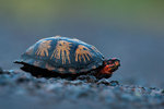 Box turtle on an early autumn morning