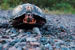 Box turtle in autumn