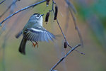 Golden-crowned kinglet foraging in October
