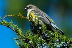 Yellow-rumped warbler with Juniper berry in late October